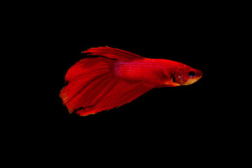 Red betta fish on black background