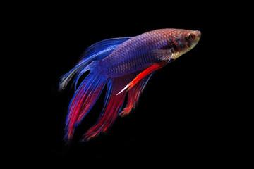 Beautiful betta fish colorful on black background