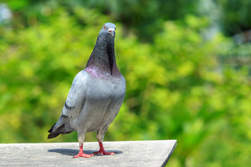 homing pigeon bird standing on home loft against beautiful green blur background