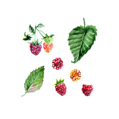 Hand drawn watercolor painting raspberry on white background. illustration of berries