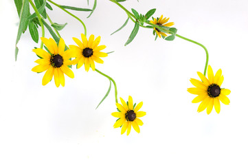 blooming yellow flower isolated on white background
