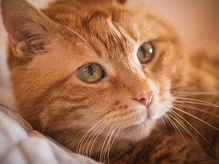 Lovely red cat looking into the camera. Selective focus.