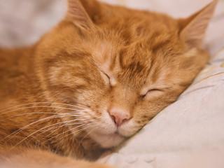 Sleeping red cat. Selective focus.