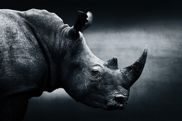 Wall Mural - Highly alerted rhinoceros monochrome portrait. Fine art, South Africa. Ceratotherium simum