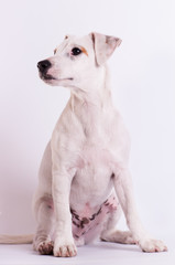 Jack Russell Terrier at studio on white