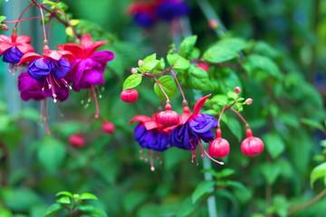 "Flowers ""Fuchsia"""