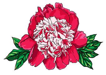Hand drawn peony flower vector illustration on white.