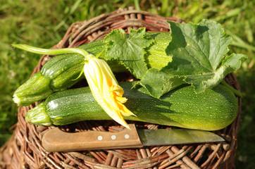 erntefrische Zucchini