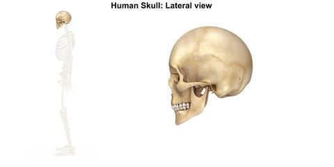Skeleton_Skull_Lateral