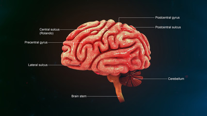 Human Brain_Lateral view