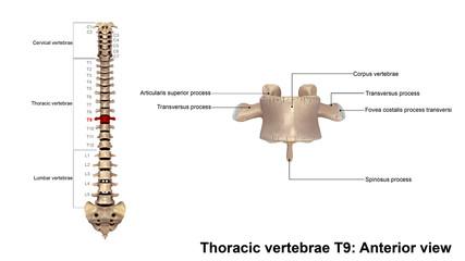 Thoracic vertebrae T9_Anterior view