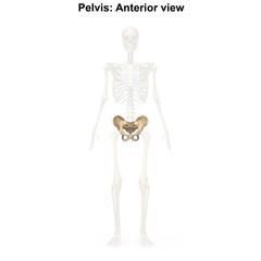 Pelvis_Anterior view
