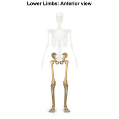 Lower limbs_Anterior view
