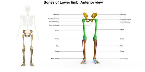 Lower limb_Anterior view