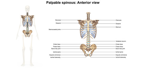 Palpable spinous_Anterior view