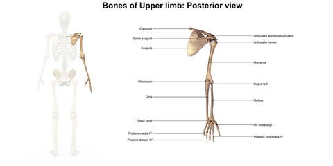 Bones of the upper limb_Posterior view