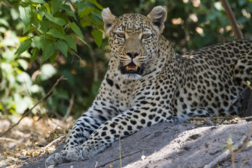 A leopard (Panthera pardus) resting in the shade, Botswana, Africa
