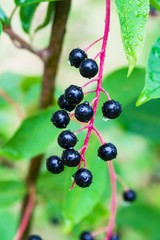 Forest shrub cherry with ripe black berries, rain drops, close-up, summer landscape, vertical