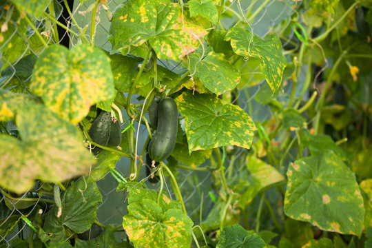 cucumber plant affected by diseases