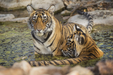 Bengal Tigers in water