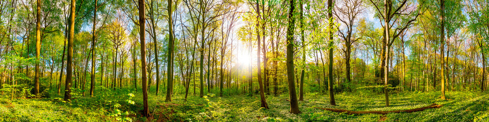 Fototapete - Wonderful forest panorama in spring with bright sun