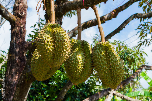 Whole durians fruit on the durian tree branch in the garden