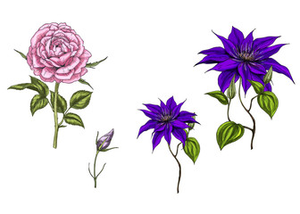 Set with clematis and rose flowers, leaves, bud and stems isolated on white background. Botanical  illustration