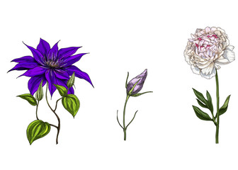 Set with peony, clematis and bud eustoma flowers, leaves and stems isolated on white background. Botanical  illustration