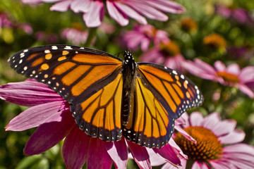 Monarch butterfly wings spread on Echinacea flower close up