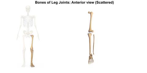 Bones of Foot_Dorsal view