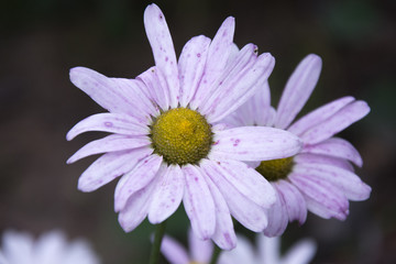 pink daisy chamomile field close up on a dark background