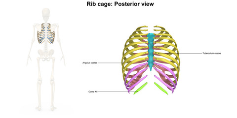Rib Cage Posterior view