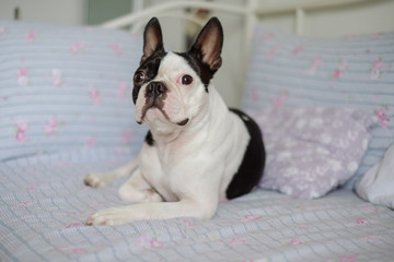 Cute Boston Terrier Lying on the Bed