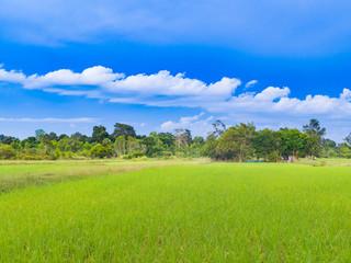 Paddy rice farm