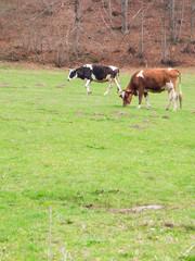 Caws feeding on green meadow in Pirin mountain, Bulgaria