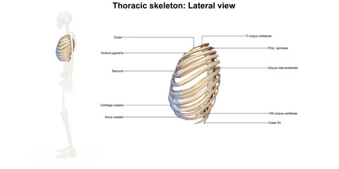 Skeleton_Thoracic skeleton_Lateral view