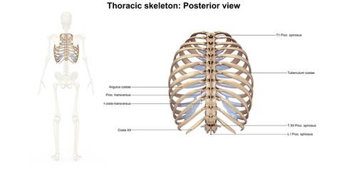 Skeleton_Thoracic skeleton_Posterior view
