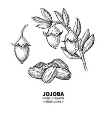 Jojoba vector drawing. Isolated vintage illustration of fruit. Organic essential oil engraved style sketch