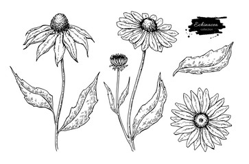Echinacea vector drawing. Isolated purpurea flower and leaves. Herbal engraved style illustration.