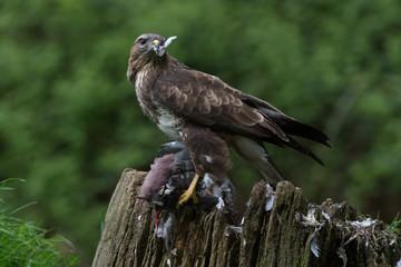 Common Buzzard (Buteo buteo)/Common Buzzard perched on prey in the centre of a forest