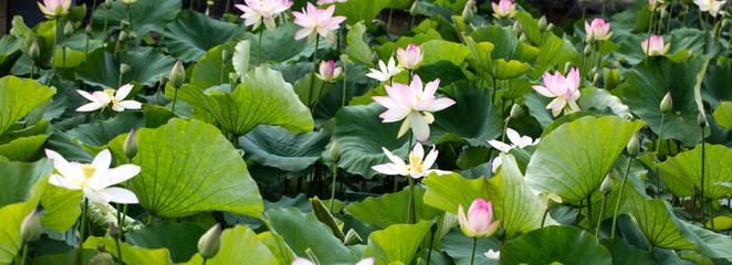 Foto auf Gartenposter Lotosblume group of beautiful pink and white lotus flowers, panoramic view