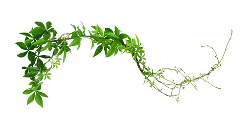Wild morning glory leaves jungle vines isolated on white background, clipping path included