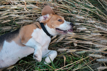 The Beagle lies in the ears of wheat