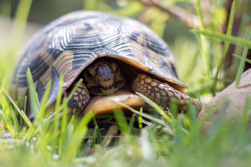 Leopard tortoise in the grass with it's head pulled in front view.