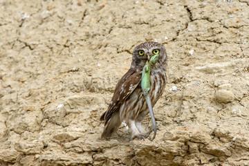 Adult little owl with lizard in beak
