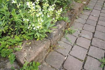Ruineneidechse, Mauereidechse, Podarcis siculus Eidechse im Garten im Blumen Beet