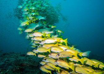 Very large school of Snapper fish over the reef.