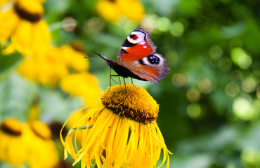 Yellow ox eye flower with a peacock butterfly