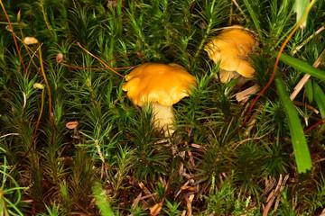 Eierschwammerl, Echter Pfifferlinge, Rehling (Cantharellus cibarius) - Schwammerl im Wald wachsend