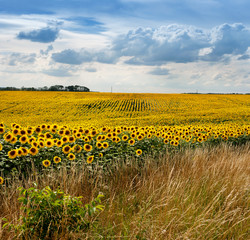 Fototapete - Sunflower field with grass